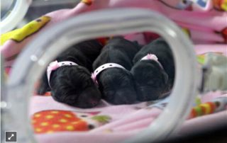 Three cloned puppies snuggle in an incubator at a Boyalife Group facility in Tianjin, China, in 2014. BOYALIFE GROUP / AFP - Getty Images